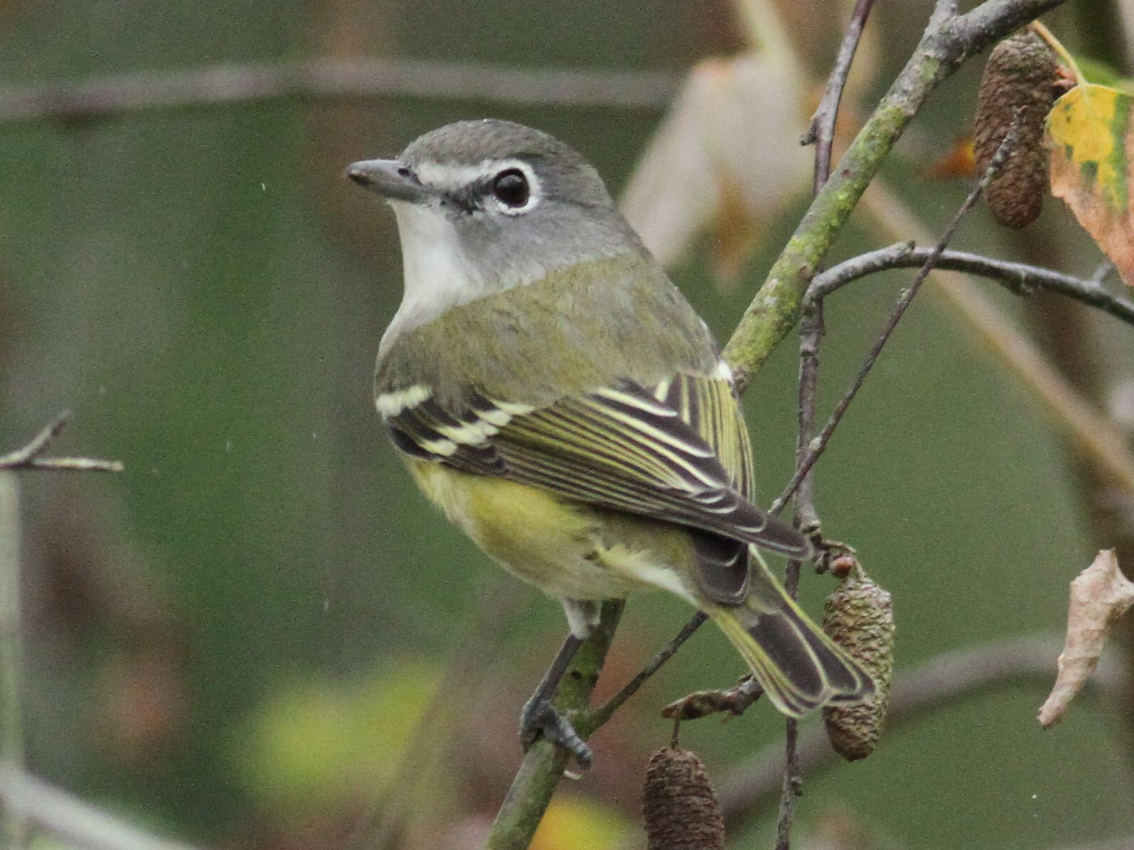 Vireo - photo#5