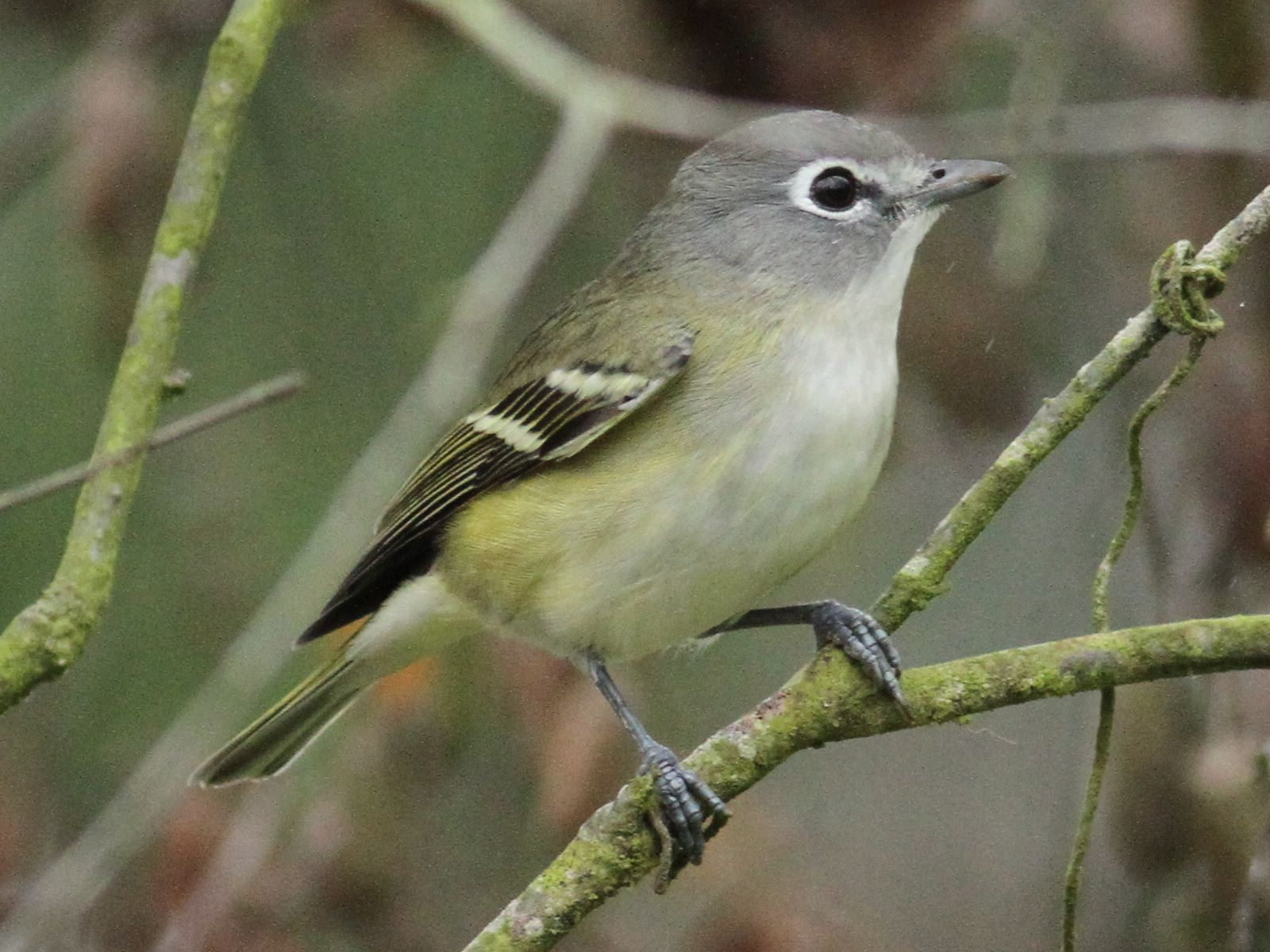 Vireo - photo#4